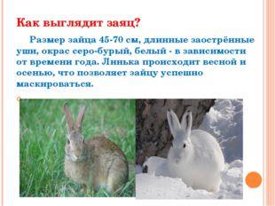 Как выглядит заяц? Размер зайца 45-70 см, длинные заострённые уши, окрас серо