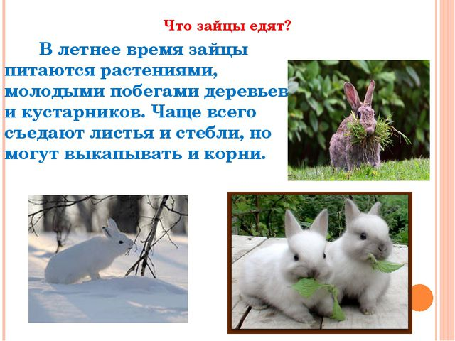 Что зайцы едят? В летнее времязайцы питаются растениями, молодыми побегами...