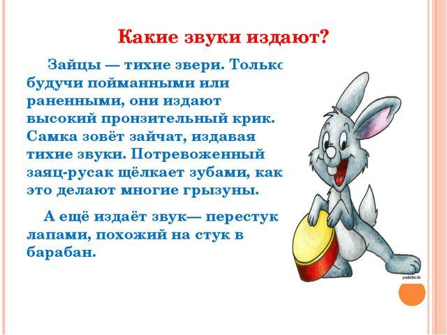 Какие звуки издают? Зайцы — тихие звери. Только будучи пойманными или раненны...