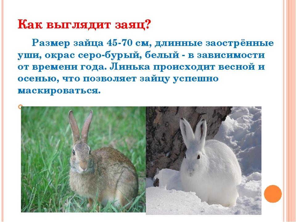 Как выглядит заяц? Размер зайца 45-70 см, длинные заострённые уши, окрас серо...
