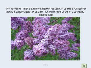 Это растение –куст с благоухающими гроздьями цветков. Он цветет весной, а лет