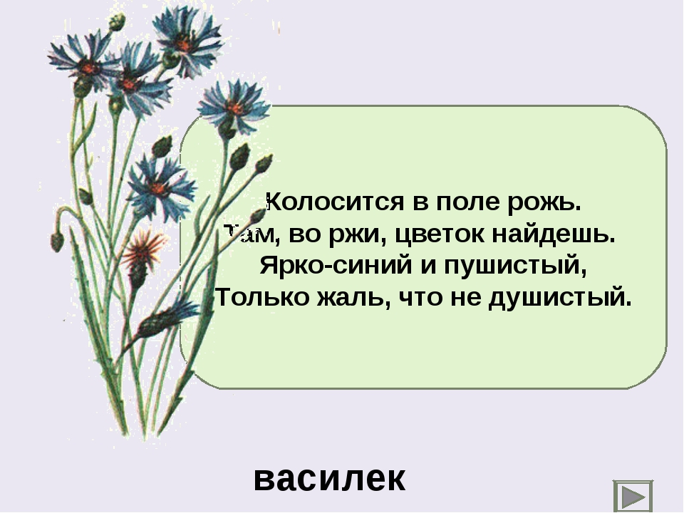 Колосится в поле рожь. Там, во ржи, цветок найдешь. Ярко-синий и пушистый, То...