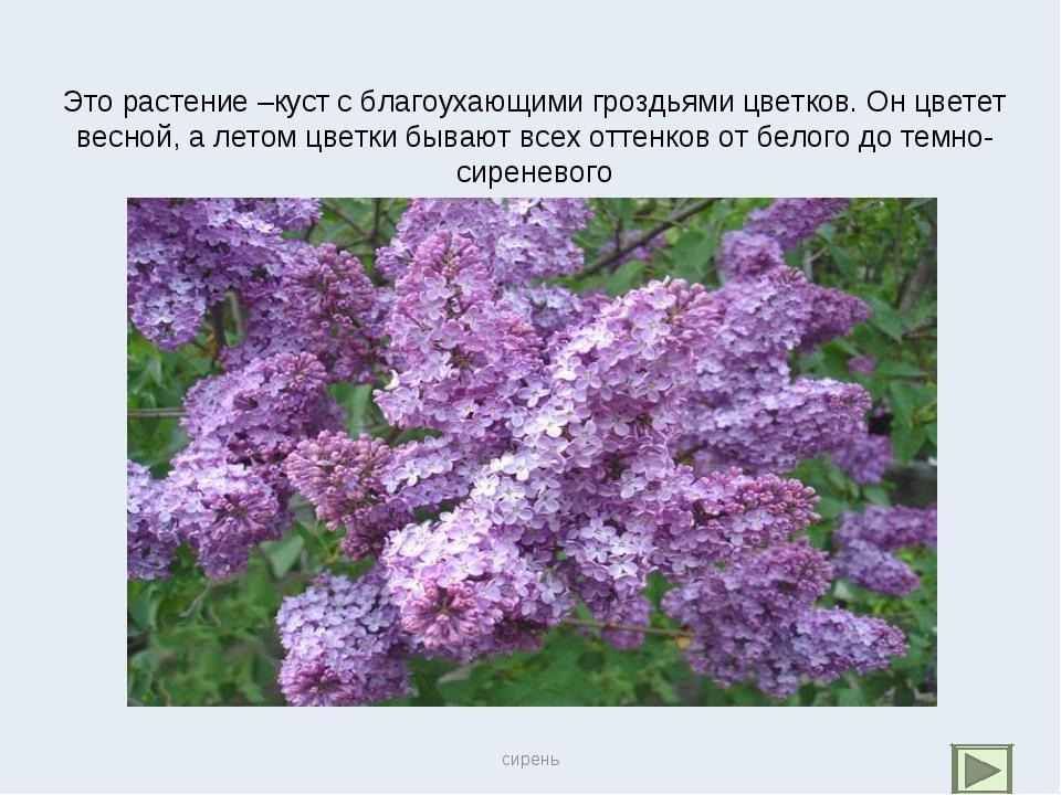 Это растение –куст с благоухающими гроздьями цветков. Он цветет весной, а лет...