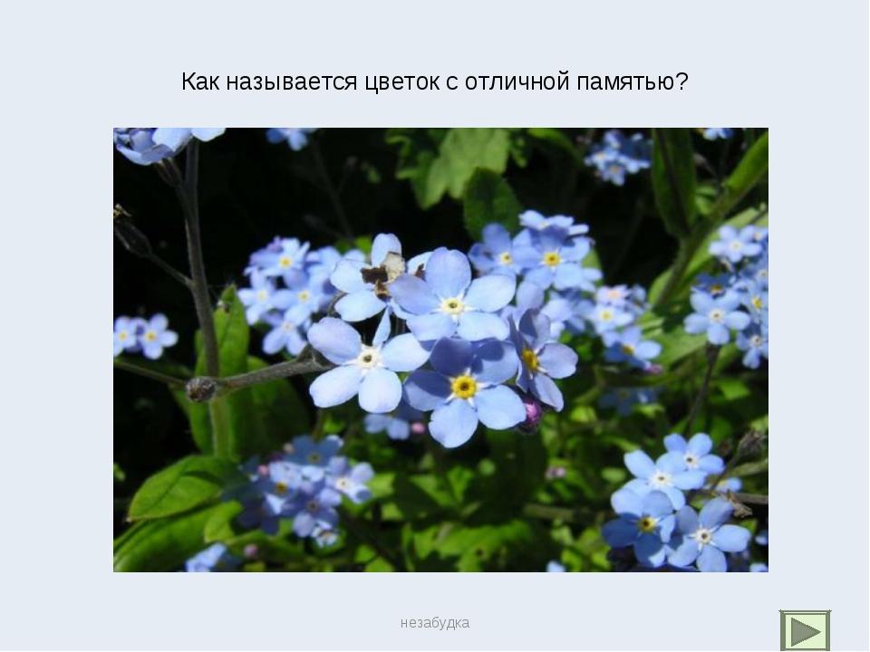 Как называется цветок с отличной памятью? незабудка незабудка