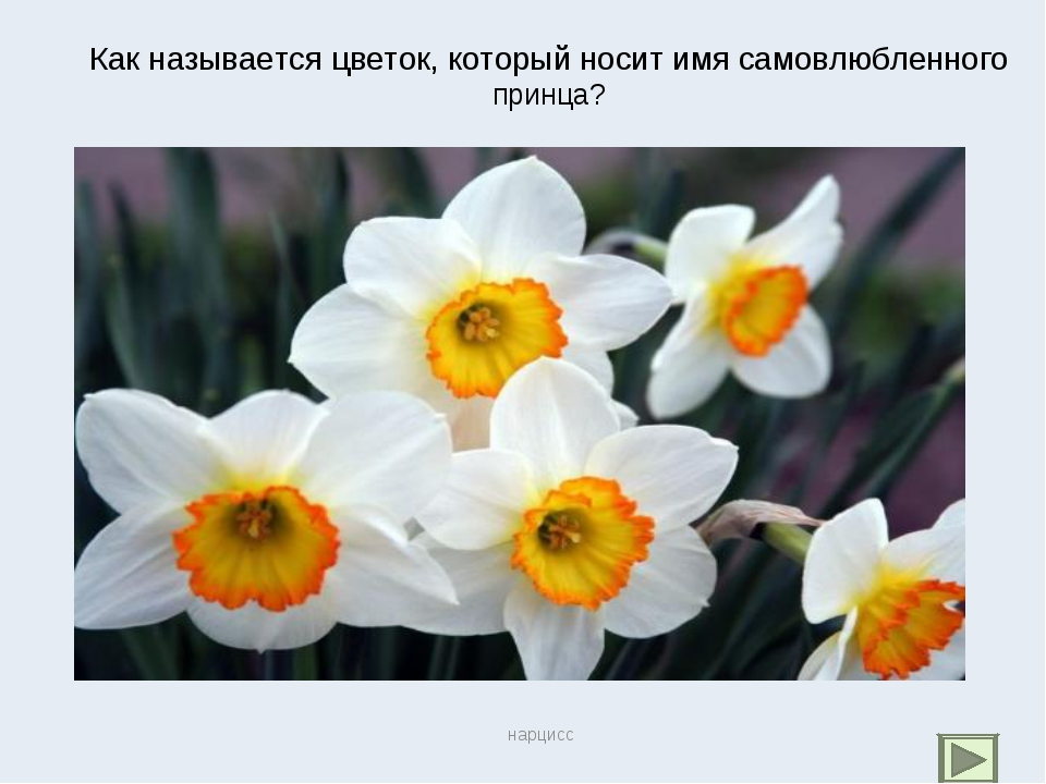 Как называется цветок, который носит имя самовлюбленного принца? нарцисс нарц...