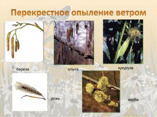 береза ольха кукуруза рожь верба