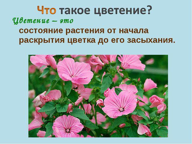 Цветение – это состояние растения от начала раскрытия цветка до его засыхания.
