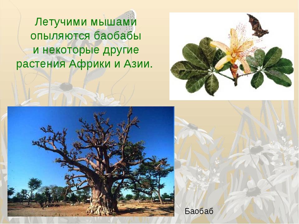 Летучими мышами опыляются баобабы инекоторые другие растения Африки и Азии....