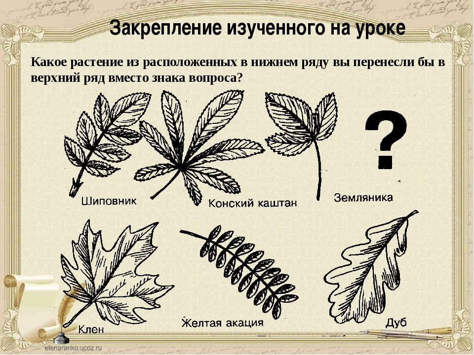 Закрепление изученного на уроке Какое растение из расположенных в нижнем ряду...