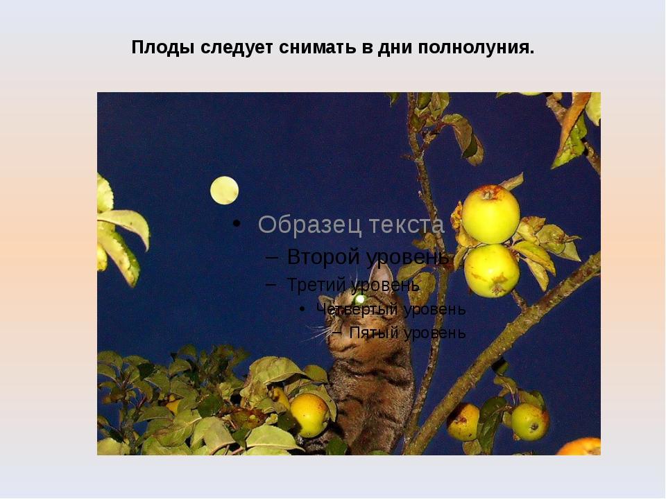 Плоды следует снимать в дни полнолуния.