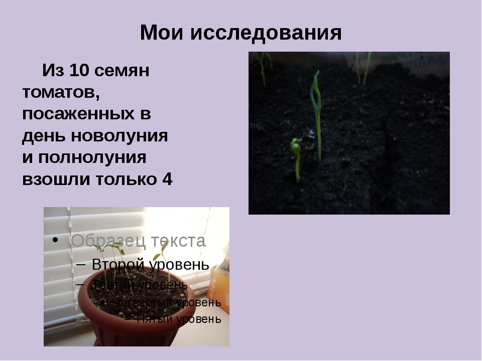 Мои исследования Из 10 семян томатов, посаженных в день новолуния и полнолуни...