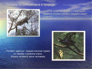 Примеры экорегуляторов в природе. Циветты живут в Африке и в Майлазии. Циветт