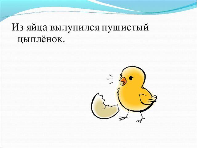 Из яйца вылупился пушистый цыплёнок.