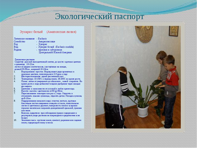 Экологический паспорт Эухарисбелый (Амазонская лилия) Латинское название -Euc...