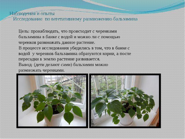 Наблюдения и опыты Исследование по вегетативному размножению бальзамина Цель:...