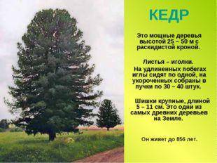 КЕДР Это мощные деревья высотой 25 – 50 м с раскидистой кроной. Листья – игол