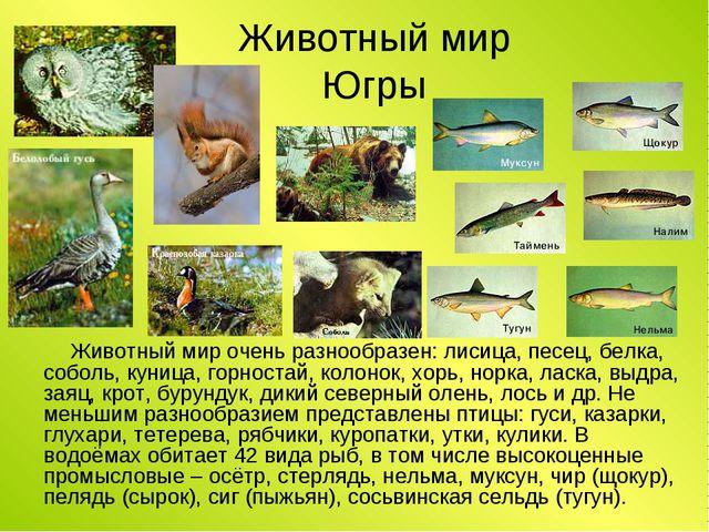 Животный мир Югры Животный мир очень разнообразен: лисица, песец, белка, собо...