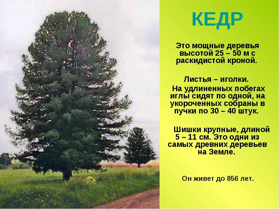 КЕДР Это мощные деревья высотой 25 – 50 м с раскидистой кроной. Листья – игол...
