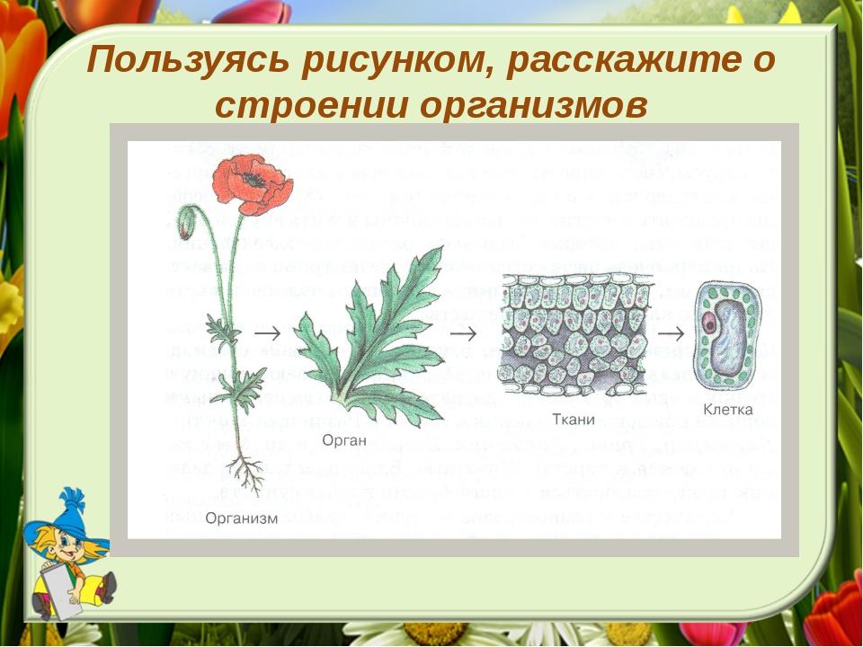 Пользуясь рисунком, расскажите о строении организмов