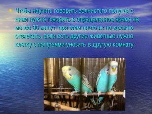 Чтобы научить говорить волнистого попугая с ними нужно говорить в определенно
