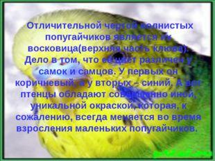. Отличительной чертой волнистых попугайчиков является их восковица(верхняя ч