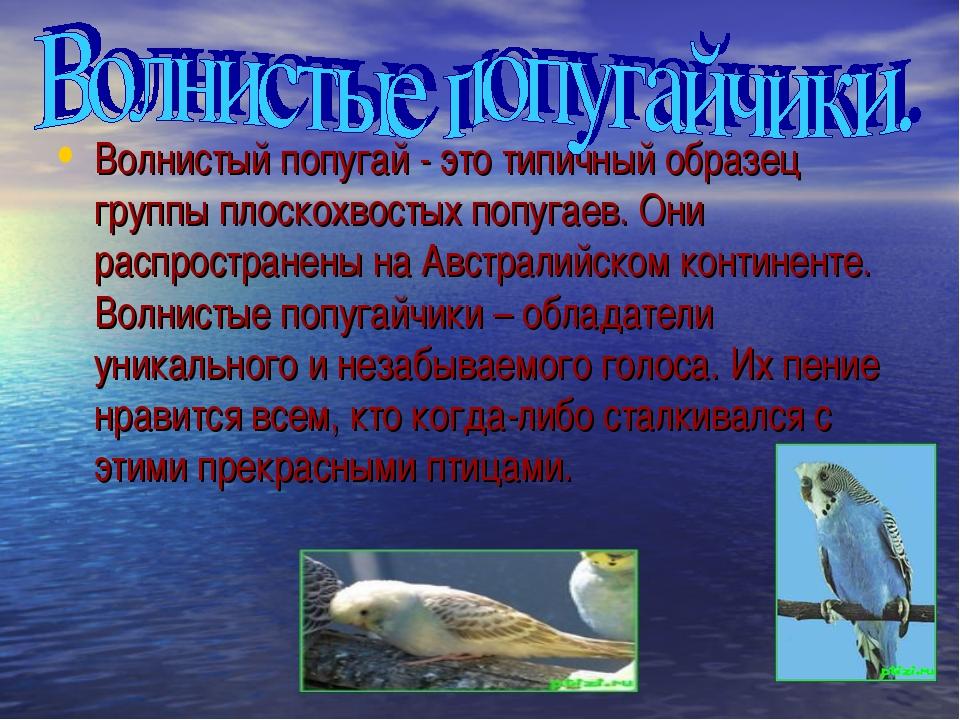 Волнистый попугай - это типичный образец группы плоскохвостых попугаев. Они р...