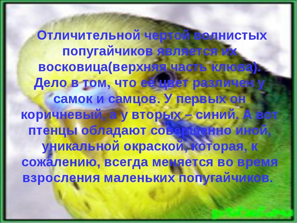 . Отличительной чертой волнистых попугайчиков является их восковица(верхняя ч...