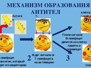 МЕХАНИЗМ ОБРАЗОВАНИЯ АНТИТЕЛ В-лимфоцит находит антиген, который соответству