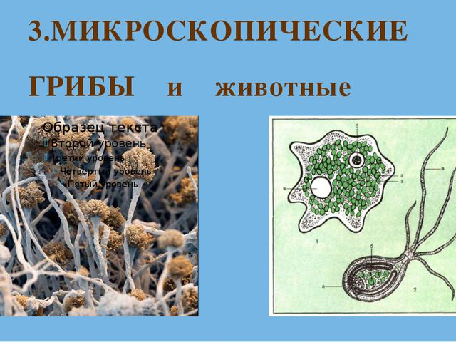 3.МИКРОСКОПИЧЕСКИЕ ГРИБЫ и животные
