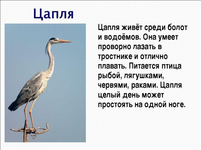 Цапля живёт среди болот и водоёмов. Она умеет проворно лазать в тростнике и...