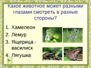 Какое животное может разными глазами смотреть в разные стороны? Хамелеон Лему