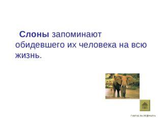 Слоны запоминают обидевшего их человека на всю жизнь.