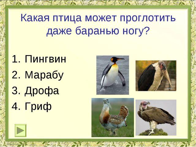 Какая птица может проглотить даже баранью ногу? Пингвин Марабу Дрофа Гриф