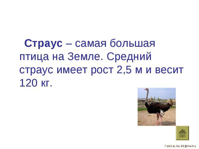 Страус – самая большая птица на Земле. Средний страус имеет рост 2,5 м и вес...