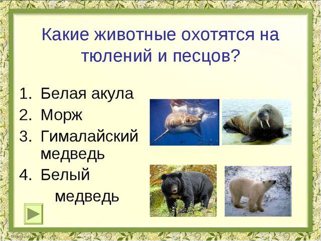 Какие животные охотятся на тюлений и песцов? Белая акула Морж Гималайский мед...