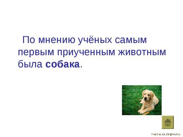 По мнению учёных самым первым приученным животным была собака.