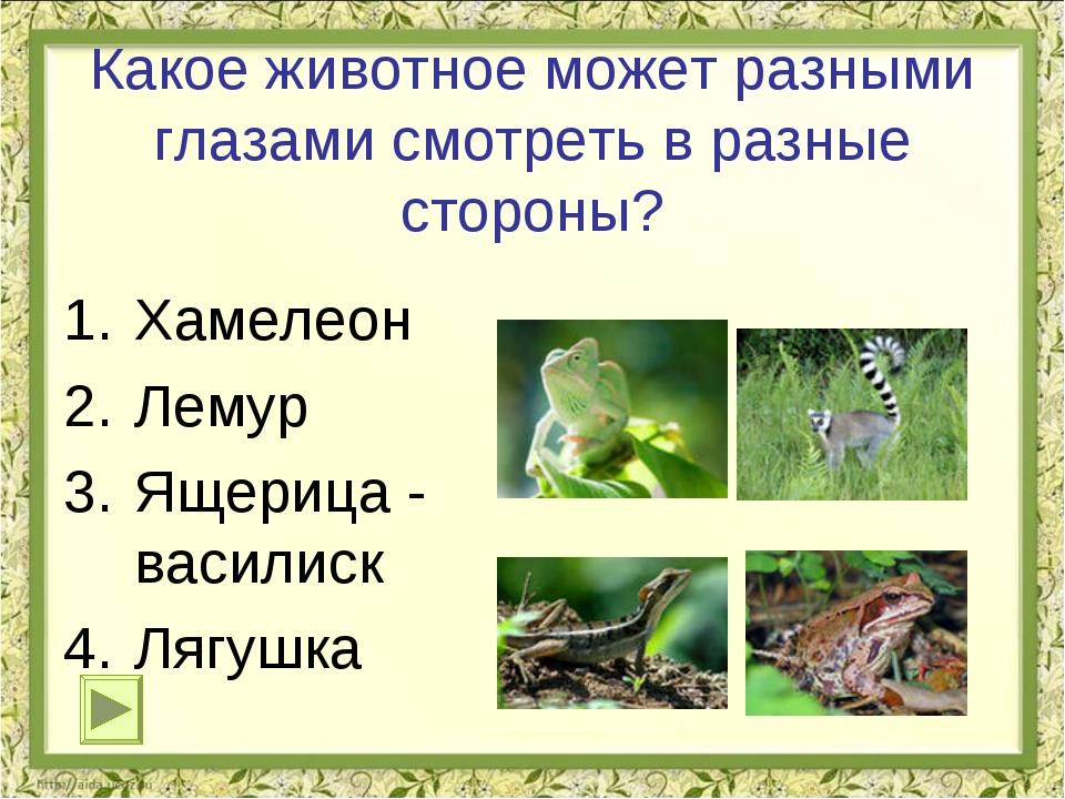 Какое животное может разными глазами смотреть в разные стороны? Хамелеон Лему...