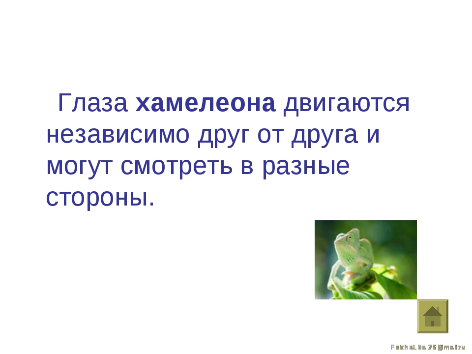 Глаза хамелеона двигаются независимо друг от друга и могут смотреть в разные...