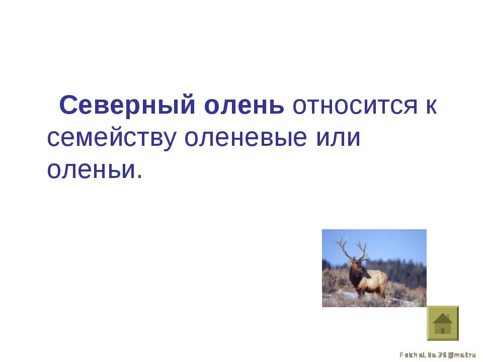 Северный олень относится к семейству оленевые или оленьи.
