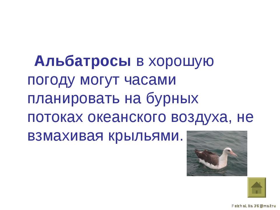 Альбатросы в хорошую погоду могут часами планировать на бурных потоках океан...