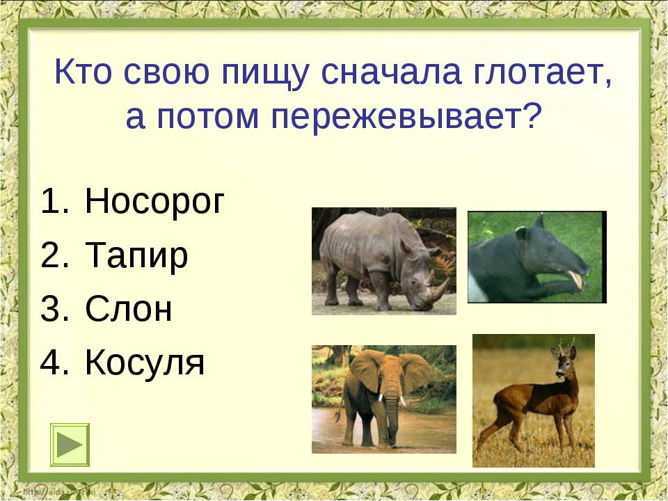 Кто свою пищу сначала глотает, а потом пережевывает? Носорог Тапир Слон Косул...