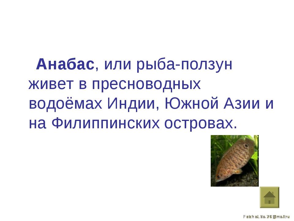 Анабас, или рыба-ползун живет в пресноводных водоёмах Индии, Южной Азии и на...