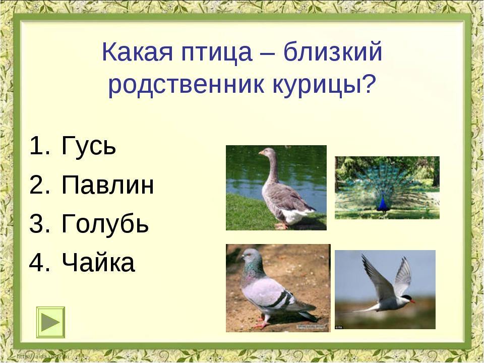 Какая птица – близкий родственник курицы? Гусь Павлин Голубь Чайка