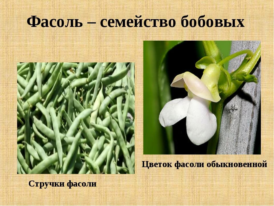 Фасоль – семейство бобовых Цветок фасоли обыкновенной Стручки фасоли