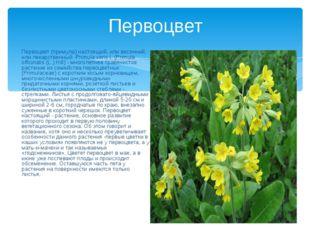 Первоцвет Первоцвет (примула) настоящий, или весенний, или лекарственный -Pri