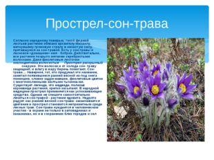 Прострел-сон-трава Согласно народному поверью, такой формой листьев растение