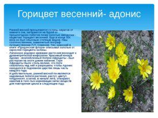 Горицвет весенний- адонис Ранней весной просыпаются склоны оврагов от зимнего