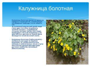 Калужница болотная Калужница болотная является одним из нарядных первоцветов,