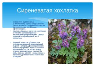 Сиреневатая хохлатка Семейство Дымянковые (Fumariaceae). Здесь представлена г
