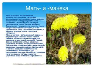 Мать- и -мачеха Мать-и-мачеха обыкновенная - многолетнее растение с мелкими з